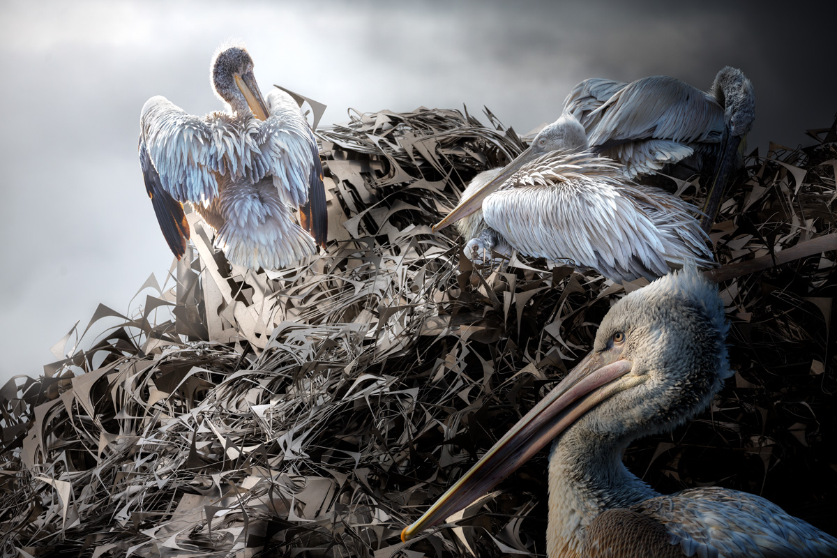 Pelicans on scrapheap