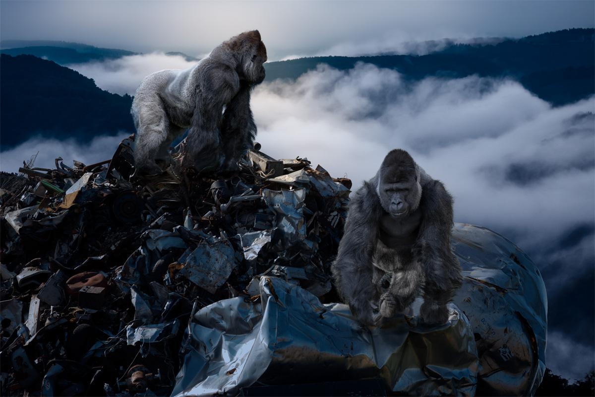 Silverback Gorillas on a dump