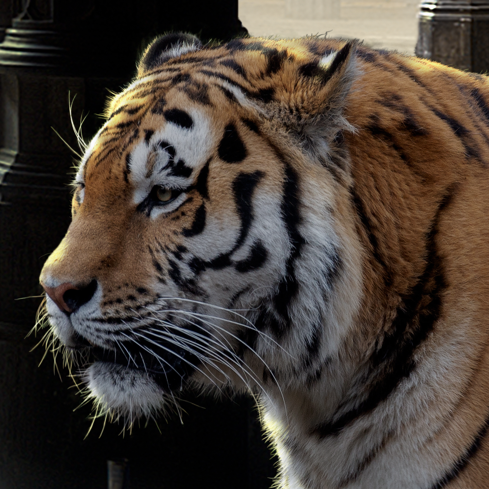 detail bengal tiger by cheraine collette