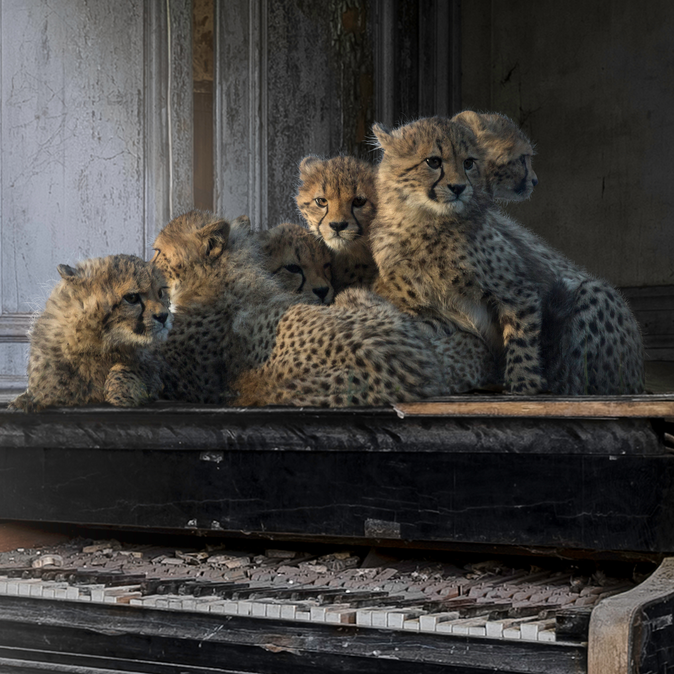 orchestra of life detail of cheetah cubs sitting on a piano